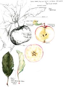 Apple Field Sketch mid size+adjusts